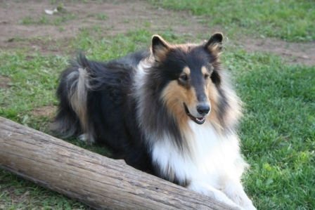 Tri Color Collie
